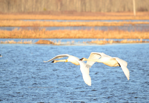 24K Trumpeter Swan and Mate