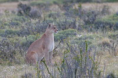 Pumas and Patagonia 2018
