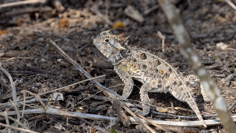 Texas Horned Lizard  @ Laguna Vista Nature Trail