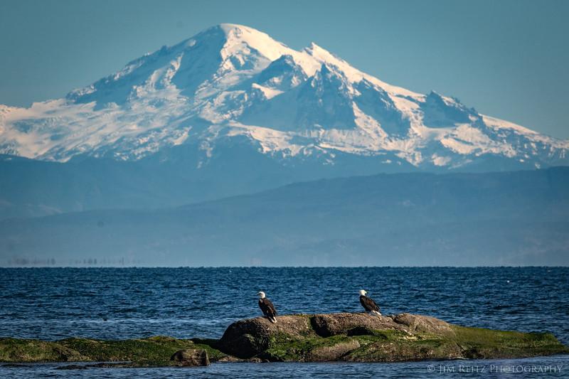 Bald eagles in front of Mount Baker.
