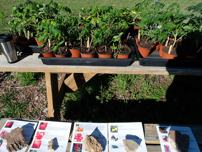 Tomato Planting 2019