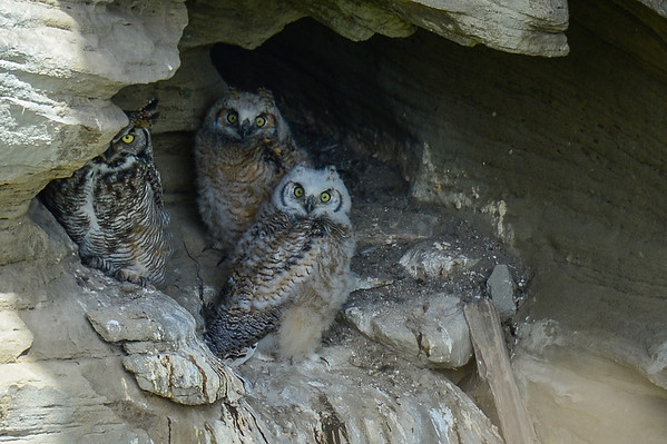 5 2013 May 25 Cave Owl Update