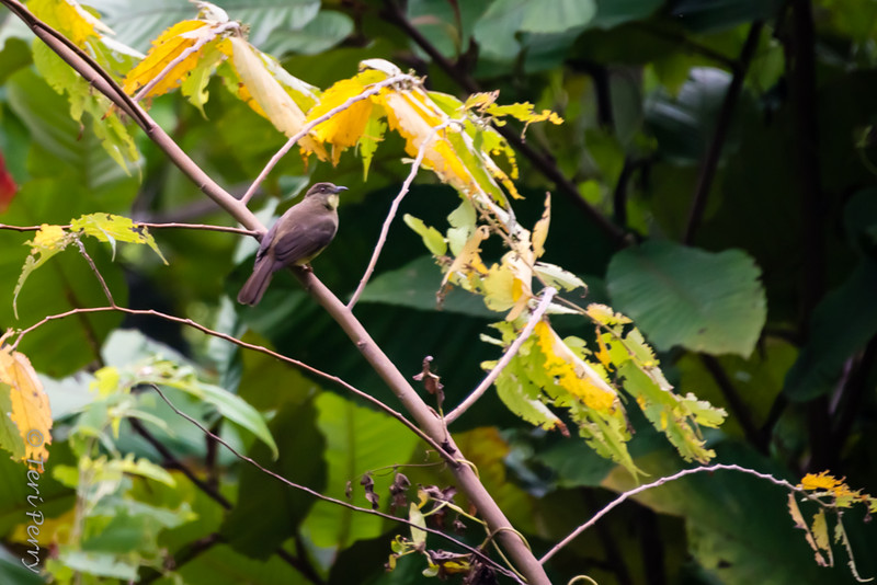 BIRD - maybe yellow throated bulbul?-5758.jpg