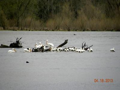 Pelicans - Lake Springfield - 2013