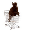 Cute black kitten standing in shopping cart on white background