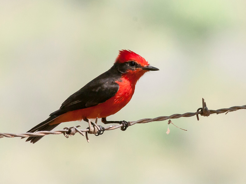 Common Vermilion Flycatcher