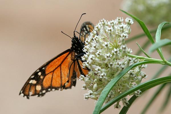 2007 - Butterflies