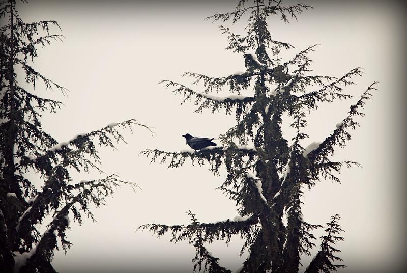 Common Raven, WA