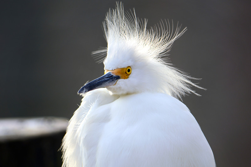 2_26_19 Portrait of a Snowy Egret.jpg