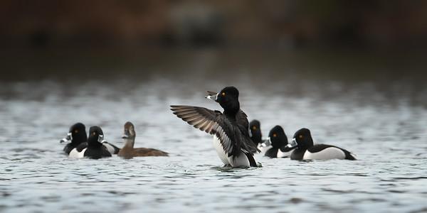 Ring-necked Ducks- 2019