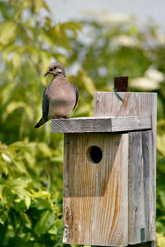 Mourning Dove, Col. Samuel Smith Park