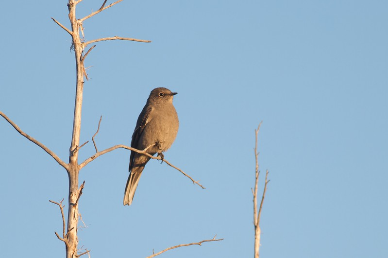 Townsend's Solitaire Teddy Roosevelt National Park ND IMG_4978.jpg