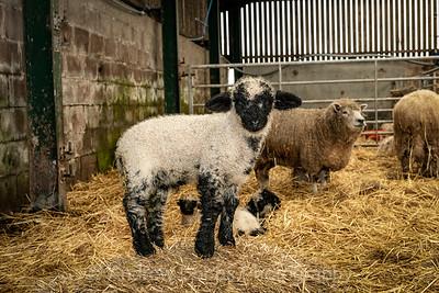 Gaisgill Lambs