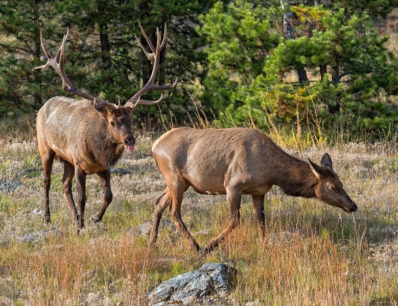 The Elk Rut