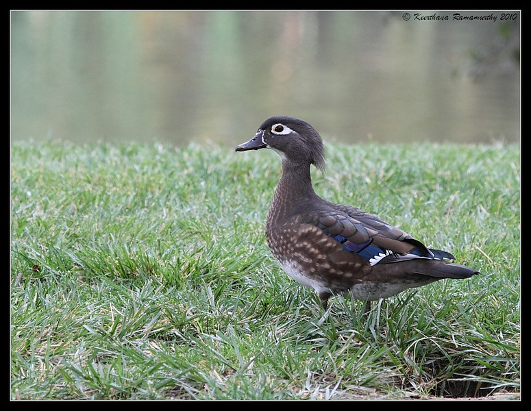 Wood Duck Female, Santee Lakes, San Diego County, California, November 2008