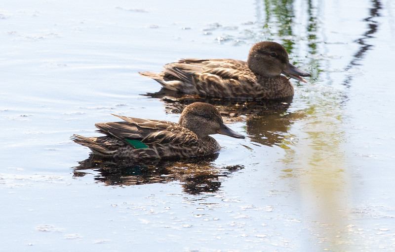 Green-winged Teal juveniles young old railroad grade ATV Trail Toivola Swamp Sax-Zim Bog MN -8801.jpg