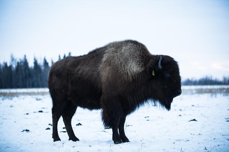 AHP171212_buffalo1505.jpg