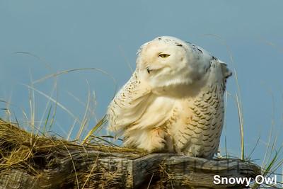 Snowy Owl, Ocean Shores WA, USA