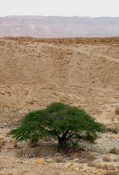 MASADA TREE