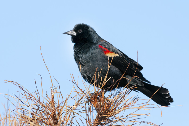 Red-Winged Blackbird Male.jpg
