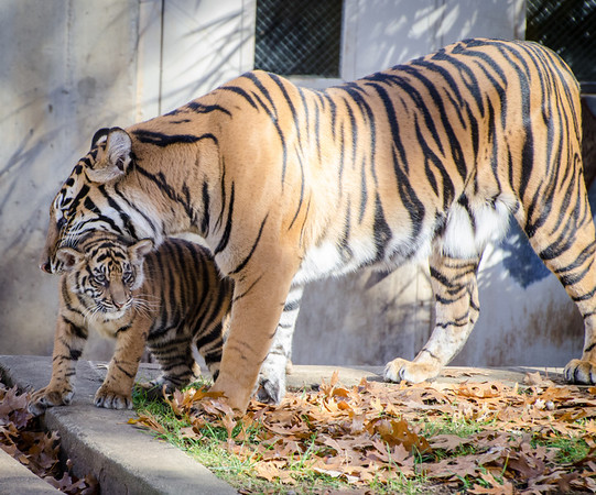 New Tiger Cubs at the National Zoo!