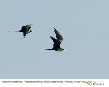 MagnificentFrigatebirdsA29760 copy.jpg