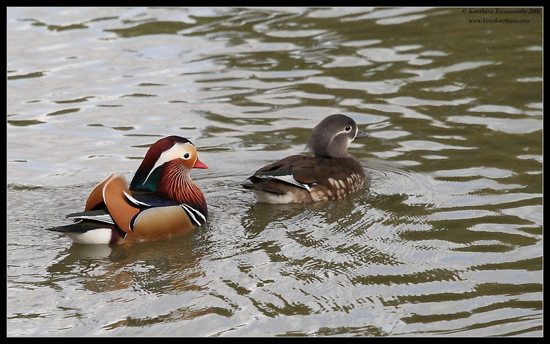 Mandarin Ducks, Lindo Lake, San Diego County, California, December 2008