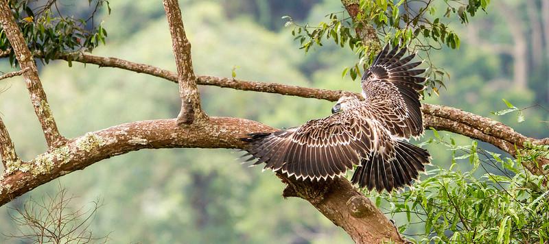 Flight of the Banog
