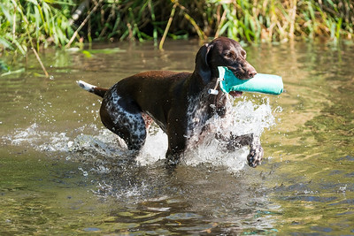 German Shorthaired Pointer retrieving in the water, taken in Hampshire, UK by MIL Pet Photography. Copyright is Millers Image Limited. Dog Photographer is Chris Miller.
