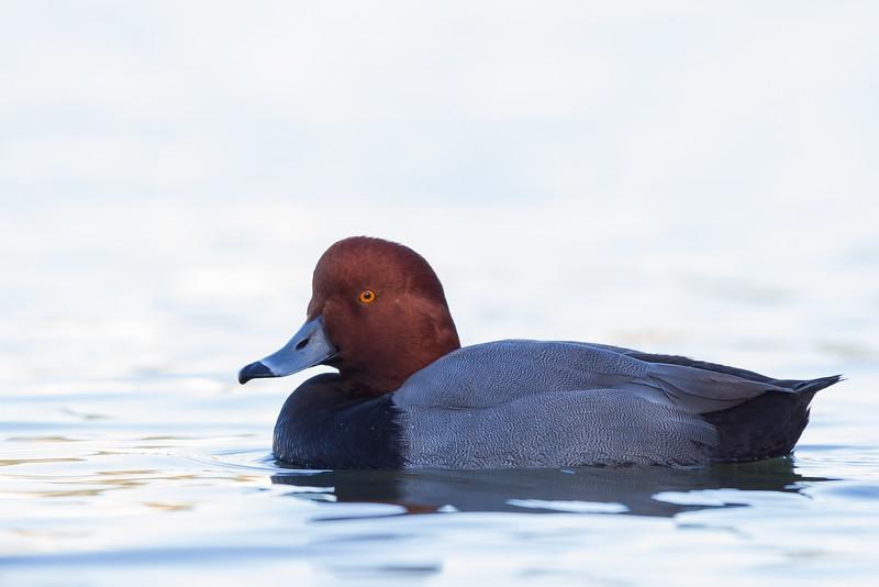 Redhead - Male - San Rafael, CA, USA