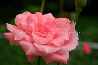 028-flower_rose-nlg-16aug06-0084