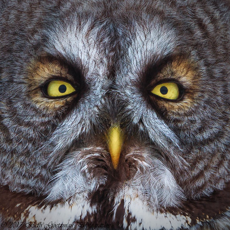 Great Grey Owls