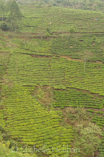 Tea plantations near  Mu Cang Chai, Vietnam