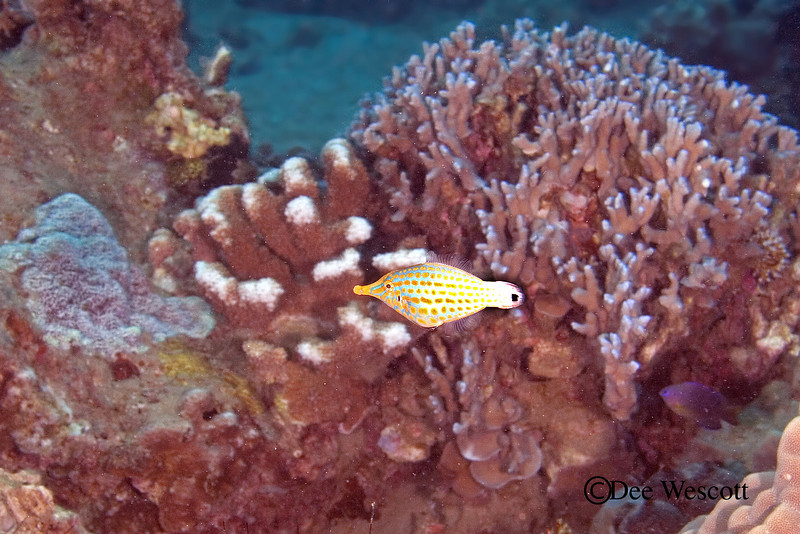 Longnose Filefish 3.jpg