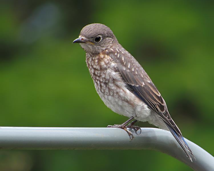 sx30_bluebird_fledgling_006.jpg