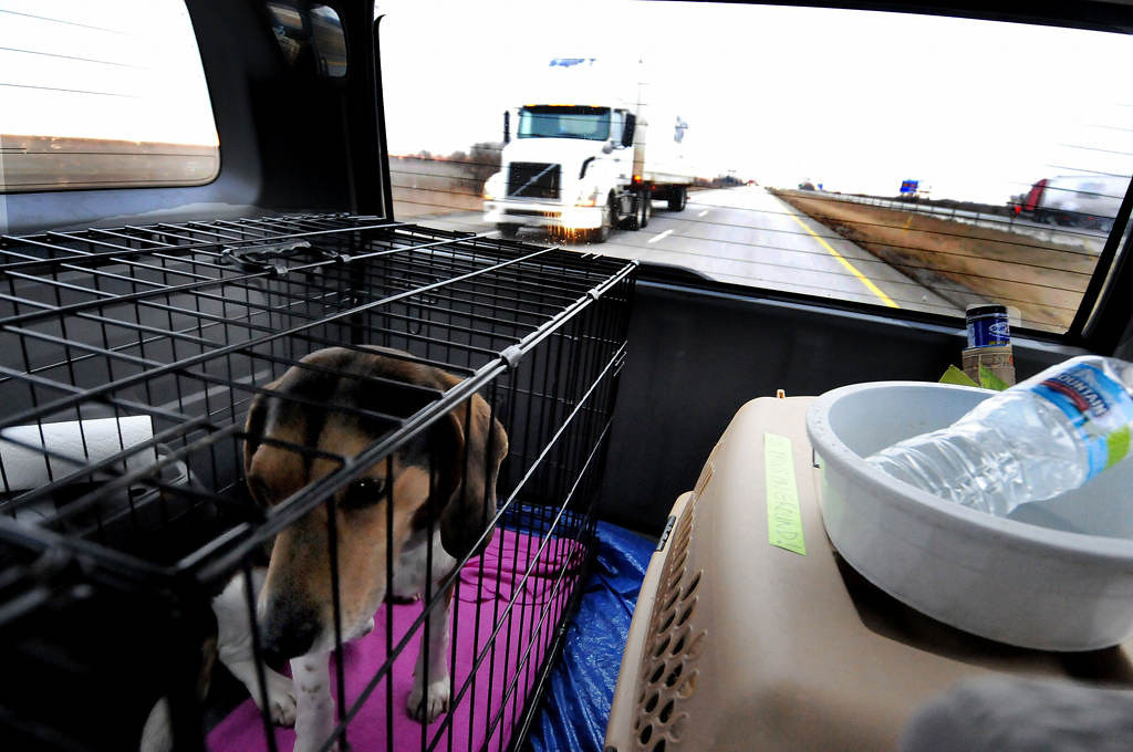 . Baxter, a five-year-old Beagle rescue, is crated next to the pit mix puppies as they leave Indianapolis for Minnesota Saturday morning, Feb. 9. (Pioneer Press: Sherri LaRose-Chiglo)