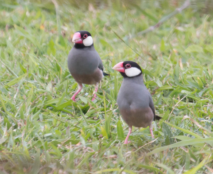 The Java Sparrow, also called a Java Rice Sparrow, is a gregarious little bird introduced to Maui by the pet trade. It comes from Java, Bail and Indonesia originally.
