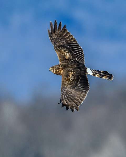 Northern Harrier -7381.jpg