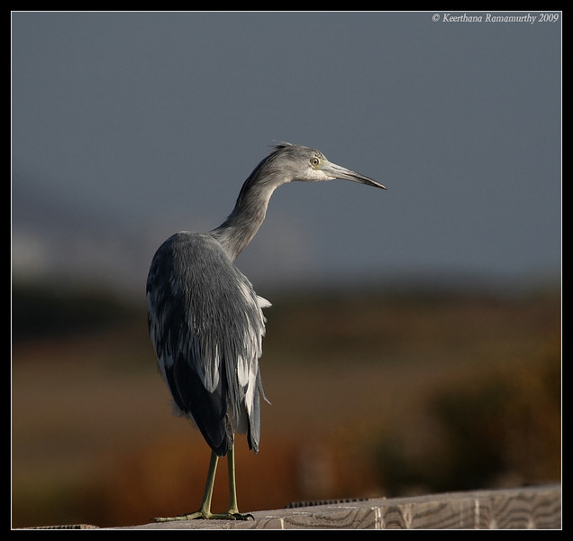 Juvenile Little Blue Heron, Tijuana River Estuary, San Diego County, California, May 2009
