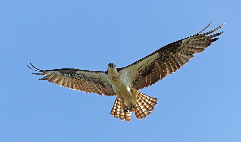 osprey 508.jpg