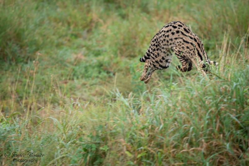 Serval Hunting III