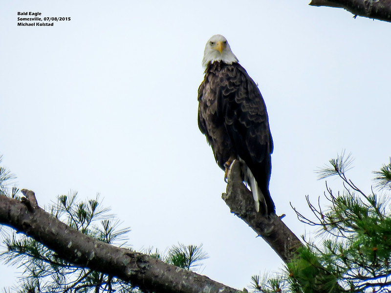 a708 934 IMG_8265 3T crp Bald Eagle looking at us Somesville ME 708 1157.jpg