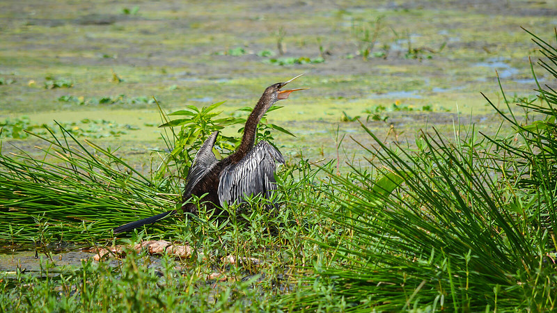 Anhinga on ground with wings open