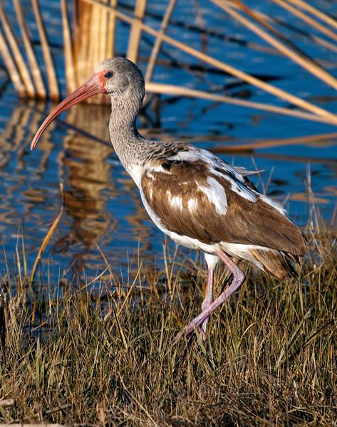 A juvenile white ibis in the Willow Waterhole, Houston