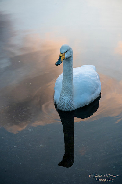 Whooper Swan at Sunset
