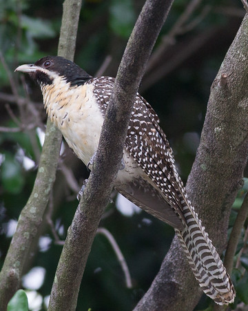 Eastern Koel (Eudynamys orientalis) - Male & Female Pair