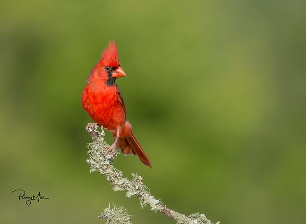 Cardinal-sharpen-sharpen.jpg