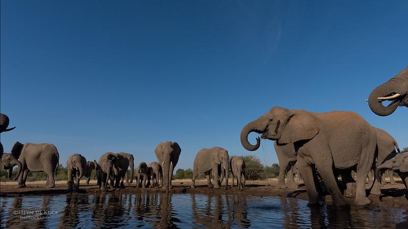 African Elephant, Mashatu GR, Botswana, May 2017-41.jpg