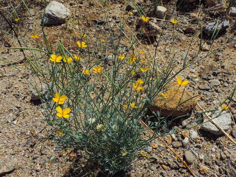 Pygmy Golden Poppy (Eschscholzia minutiflora) PAPAVERACEAE