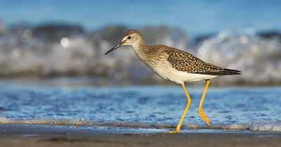 Greater & Lesser Yellowlegs